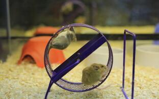 hiirte valus liigend