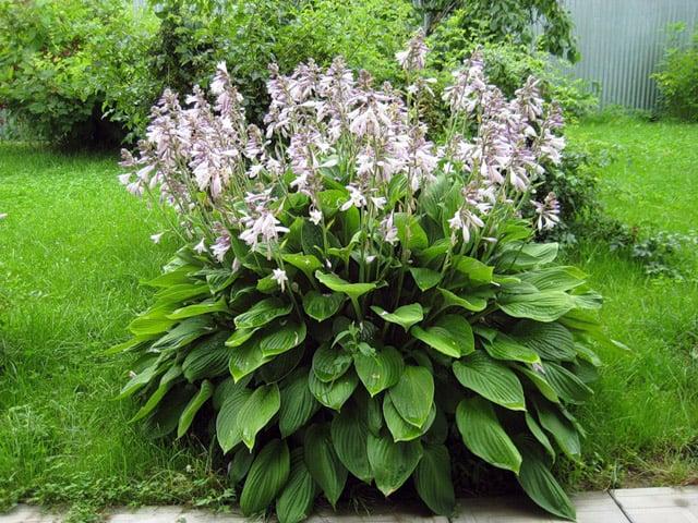 Millised taimed aitavad uhisvalu Sissepaas nakkuse